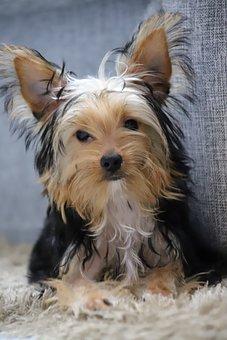 Yorkshire, Dog, Cute, Yorkie, Puppy