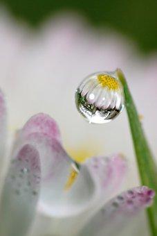 Drip, Geese Flowers, Mirroring, Macro, Spring, Nature