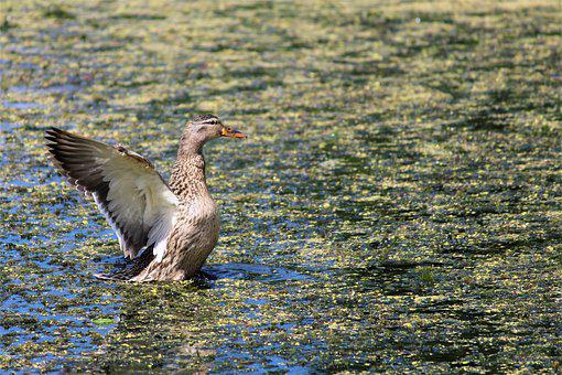 Duck, Action, Flying, Pond, Bird, Nature, Animal, Wings