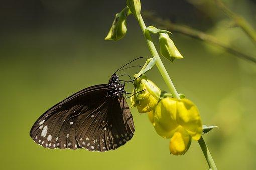 Common Indian Crow, Euploea Core Graminifera, Butterfly