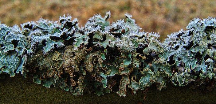 Lichen, Bubble Braid, Fence, Bar, Hoarfrost, Ripe
