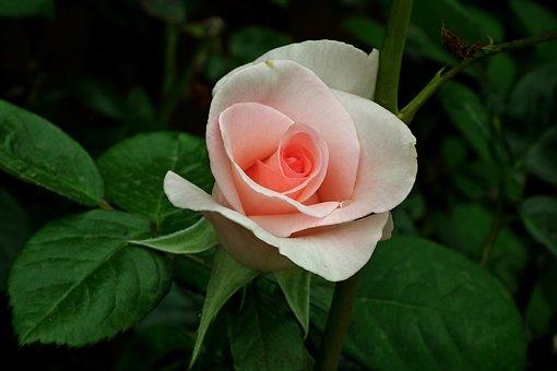 Rose, Flower, Pink, Beauty, Garden