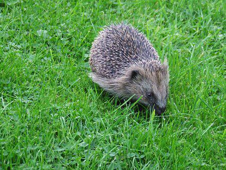 Foraging, Hedgehog, Hungry, Animal, Nocturnal, Prickly