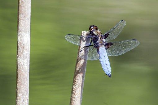 Broad-bodied Chaser, Libellula Depressa, Dragonfly