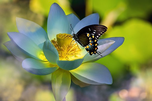 Lotus, Butterfly, Flower, Insect, Nature
