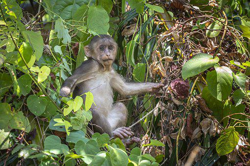 Stump-Tailed Macaque, Macaca Arctoides