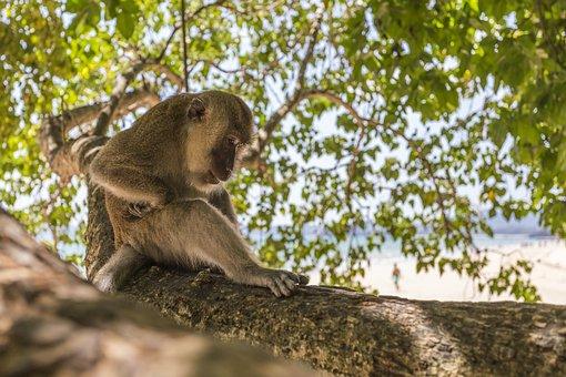 Macaca Fascicularis, Crab-eating Macaque, Leaf