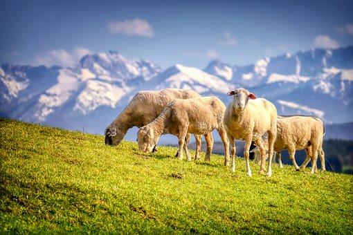 Sheep, Wool, Flock, Graze, Meadow, Pasture, Hill
