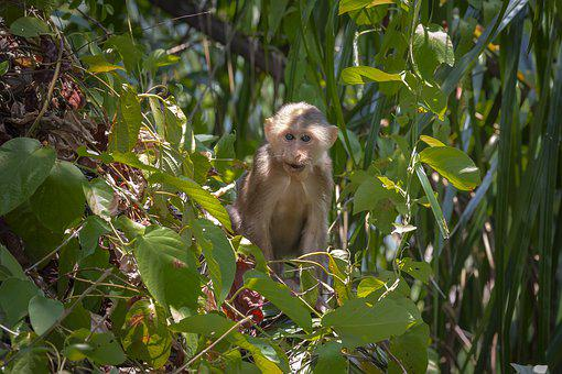 Stump-tailed Macaque, Macaca Arctoides, Animal, Monkey