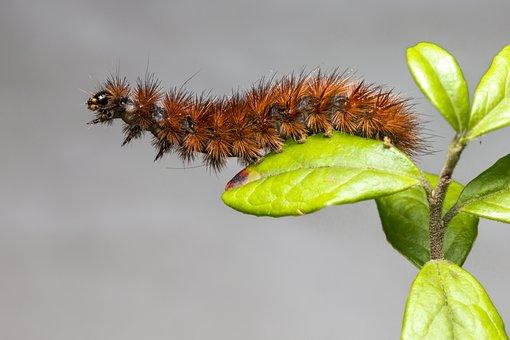 Ruby Tiger, Phragmatobia Fuliginosa, Moth, Larva