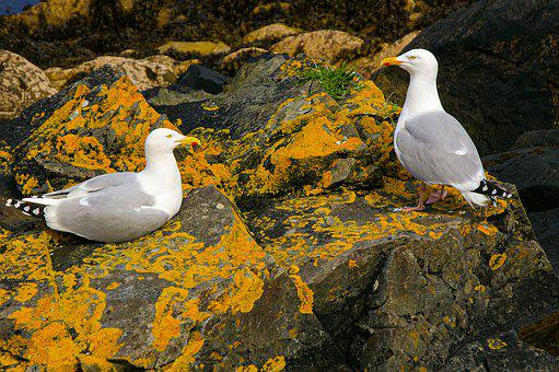 Gulls, Pair, Rock, Birds, Nature, Two, Animal World