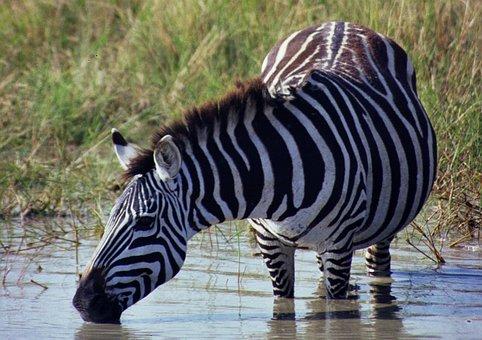 Wildlife, Zebra, Safari, Nature, Stripes, Kenya