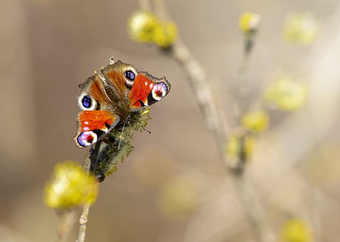 Peacock, Aglais Io, Insect, Butterfly - Insect, Nature