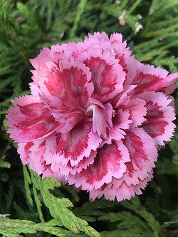 Flower, Carnation, Pink, Petals, Schnittblume, Plant