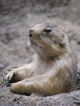 Groundhog, Prairie Dog, Wild, Wilderness, Mammal