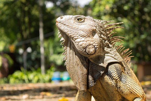 Iguana, Reptile, Animal, Animals, Lizard