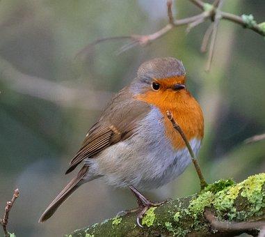 Robin Redbreast In Tree, Robin