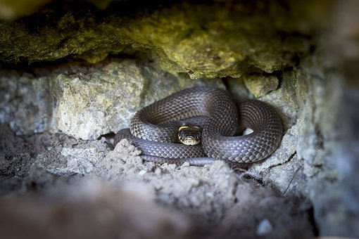 Grass Snake, Natrix Natrix, Snake, Reptile, Natter