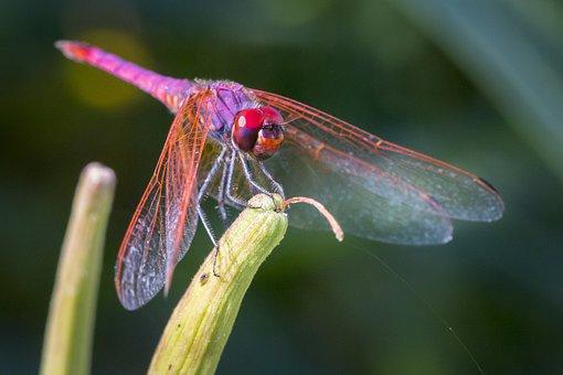 Violet Dropwing, Trithemis Annulata