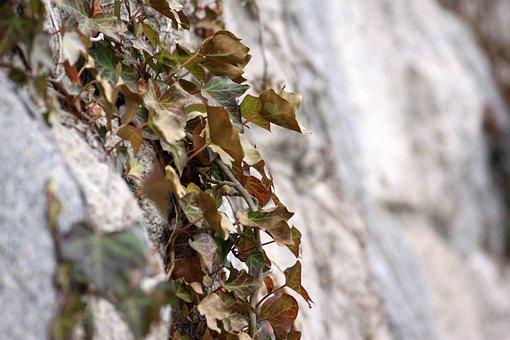 The Vine, Vine, Wall, Nature, Ivy, Leaf, Plants