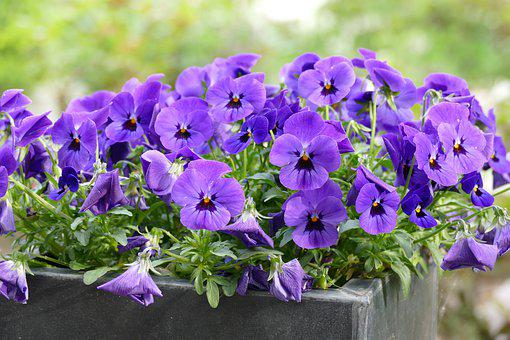 Violet, Purple, Edible, Flower, Bake, Garden, Pot