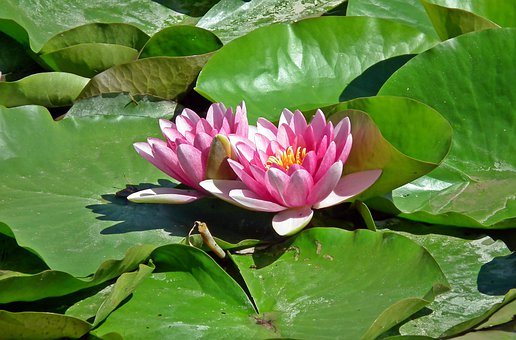 Water Lilies, Flowers, Plant, Pink, Water Lily, Nature