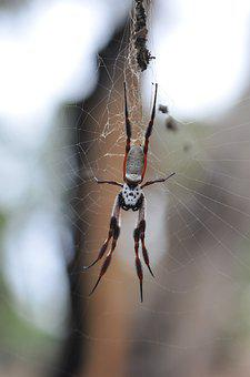 Spider, Legs, Hairy, Arachnid, Web