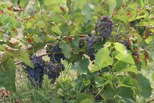 Plant, Vine, Grape, Nature, Winegrower