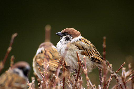 Sparrow, Winter, Twig, Nature, Bud, Feather, Animal