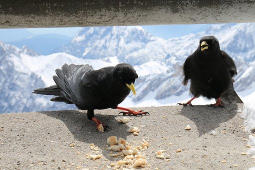Animals, Nature, Alpine, Birds, Jackdaws