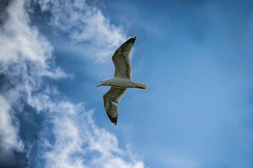 Seagull, Sky, Clouds, Flight, Animal, Seagulls, Nature