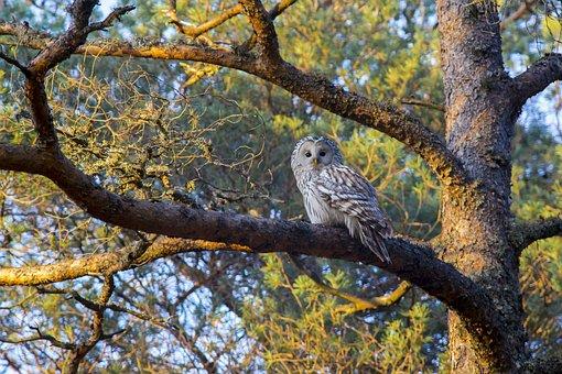Ural Owl, Bird Of Prey, Hawk - Bird