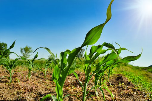 Plant, Agriculture, Business, Corn, Country