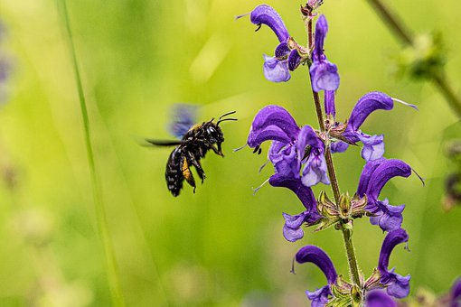 Carpenter Bee, Nature, Insect, Blossom