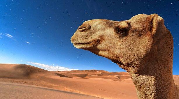 Desert, Camel, Travel, Moroco, Sand