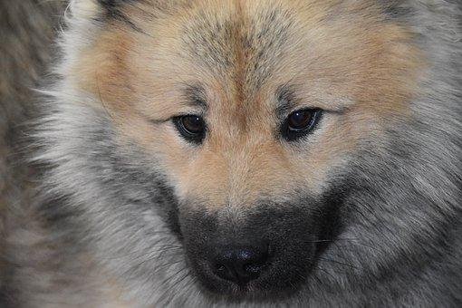 Dog, Dog Eurasier, Dog Pure Breed, Dog Portrait