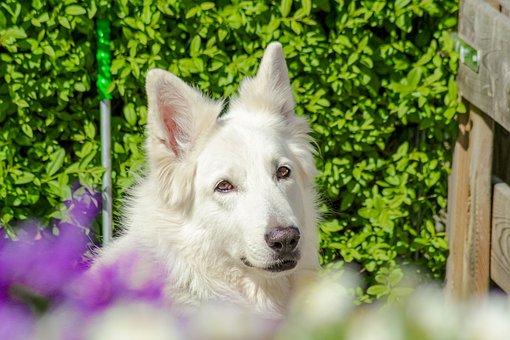 Schäfer Dog, Hide Nose, Portrait, Dog, Animal, White