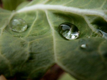 Kale, Water, Drop