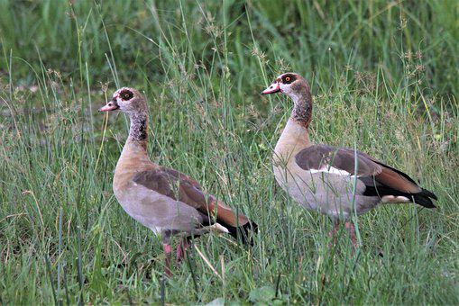 Egyptian Goose, Uganda, Bird Life, Geese, Nile, River