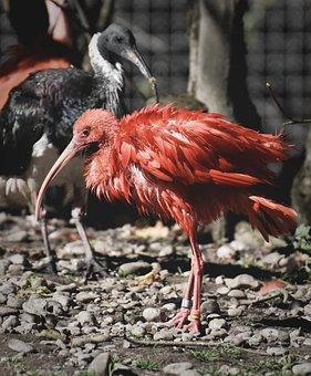Ibis, Eudocimus Ruber, Scarlet Ibis