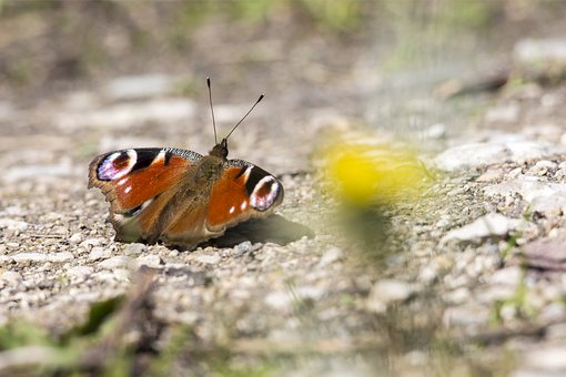 European Peacock, Inachis Io, Insect, Nature, Butterfly