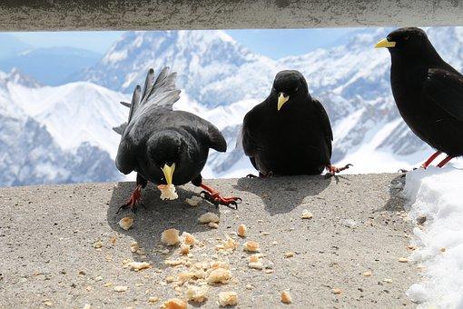 Animals, Birds, Jackdaws, Raven Bird, Food, Feed, Group