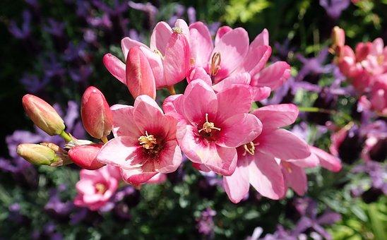Flowers, Pink, Ixia, Bulbs, Plants, Spring, Garden