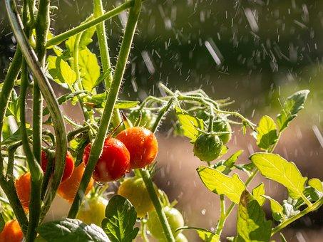 Tomatoes, Cherry Tomatoes, Fruit, Garden, Food, Fresh