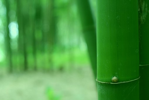 Bamboo, Nature, Trees, Forest, Green