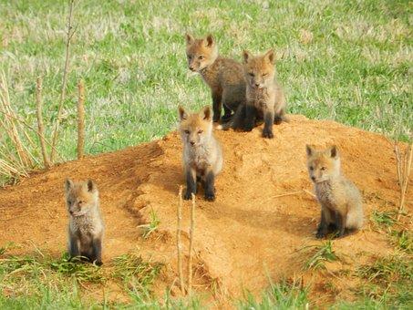 Fox, Baby, Animal, Cute, Nature, Mammal, Wild, Wildlife