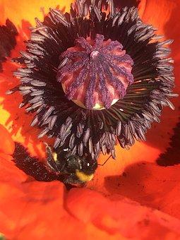 Poppy Flower, Hummel, Insect, Sprinkle