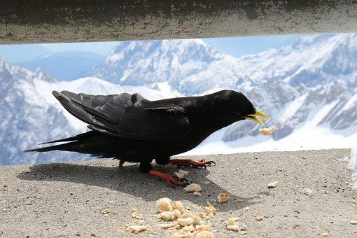 Animals, Birds, Jackdaw, Raven Bird, Nature, Feed