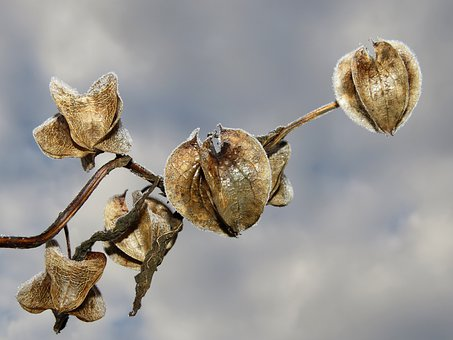 Andes Berry, Judenkirsche, Cape Gooseberry