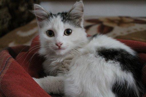 Cat, Surprise, Blanket, Animal, Surprised, Pet, Kitten